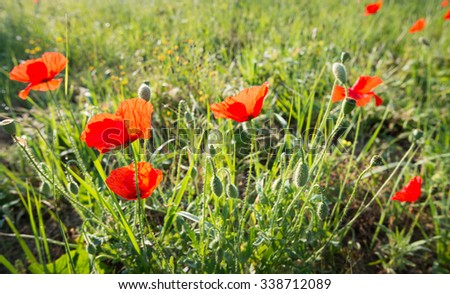 Budding, blooming and overblown poppies in early morning sunlight in the spring season. - stock photo