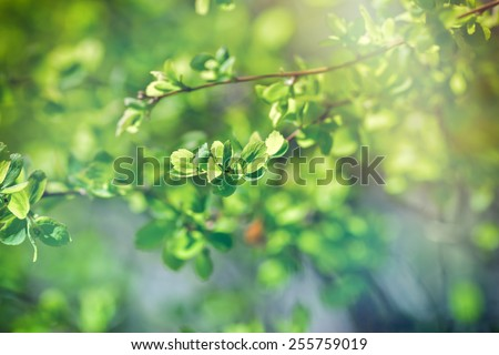 Budding leaves - Fresh spring leaves - stock photo
