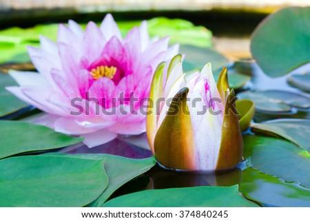 budding lotus flower - stock photo