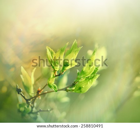 Budding spring leaves lit by sun rays  - stock photo