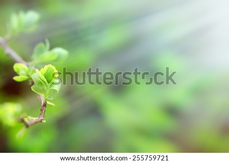 Budding spring leaves lit by sun rays (sunbeams) - stock photo