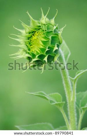 Budding Sunflower - stock photo
