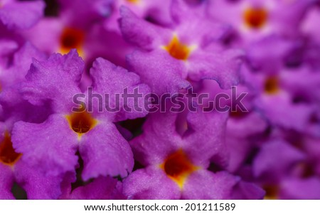Buddleja - Butterfly Bush - stock photo