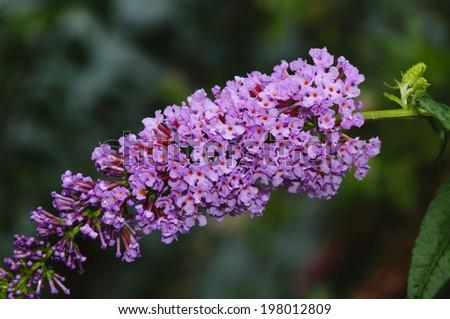 Buddleja davidii (Butterfly Bush)   - stock photo