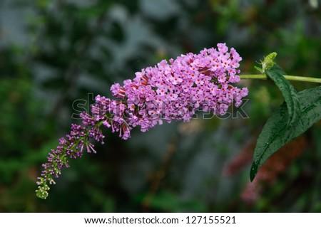 Buddleja davidii (Butterfly Bush) on blur background - stock photo