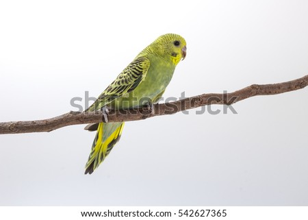Budgarigar, Budgie Bird on branch on white background