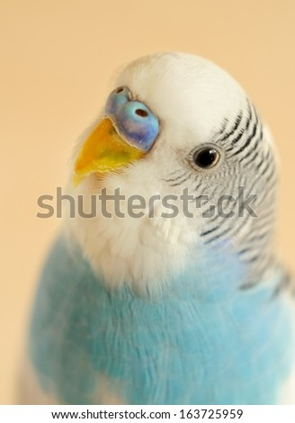 budgerigar - stock photo