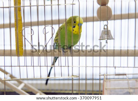 Budgerigar in the cage. Budgie - stock photo