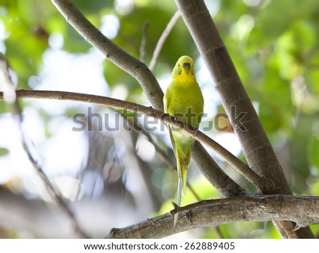 Budgerigar on branch - stock photo