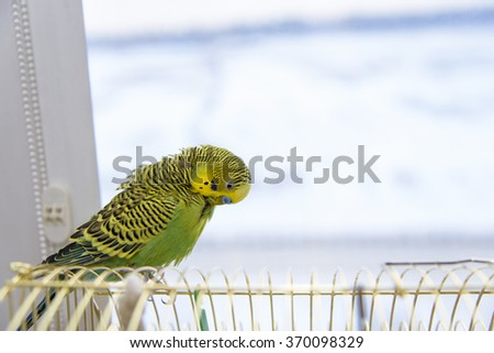 Budgerigar on the birdcage. Budgie parrot cleans its feathers - stock photo