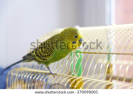 Budgerigar on the cage. Budgie - stock photo