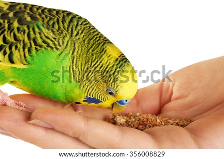 Budgerigar. Parrot isolated on white background. Close up.