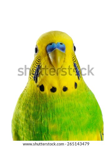 Budgerigar. Parrot on white background. - stock photo