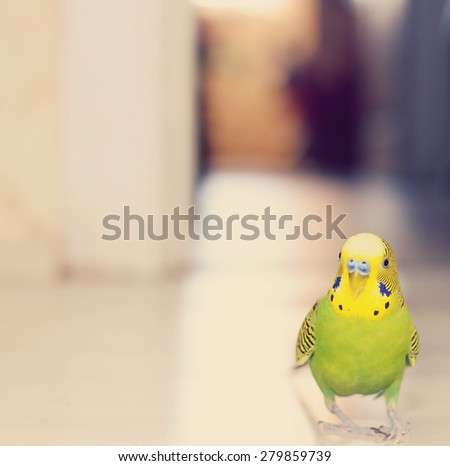 Budgerigar parrot walking on the floor. Budgie - stock photo