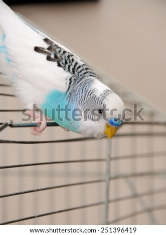 budgerigar sitting on his cage - stock photo