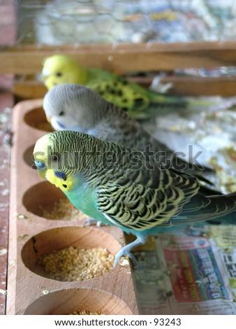 Budgerigar, Small Birds - stock photo