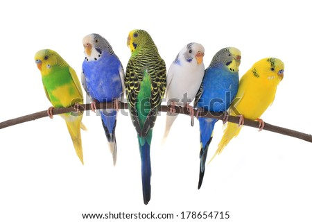 budgerigars australian parakeets isolated on white background - stock photo