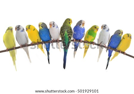 budgerigars australian parakeets isolated on white background