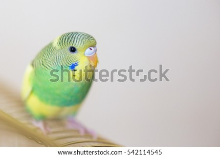 Budgie. Australian Parrot green and yellow colors.