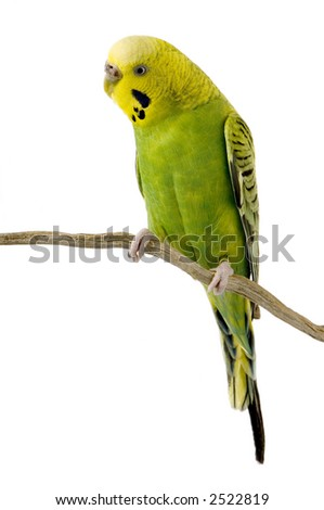 budgie in front of a white background