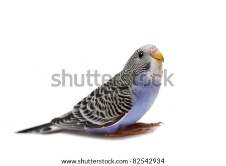 Budgie 1,5 mounths on the white background - stock photo