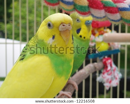 Budgies in a cage