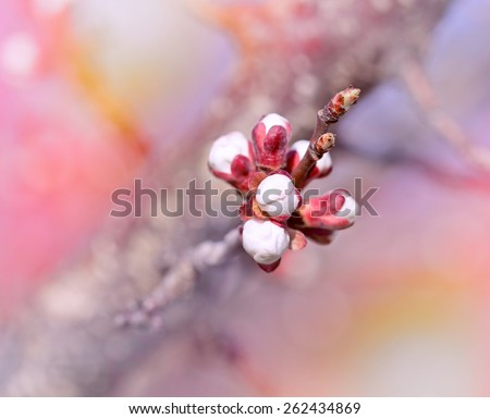 Buds - Budding buds, flowering in spring - stock photo