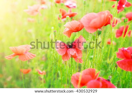 Buds of red poppies on a green field - stock photo