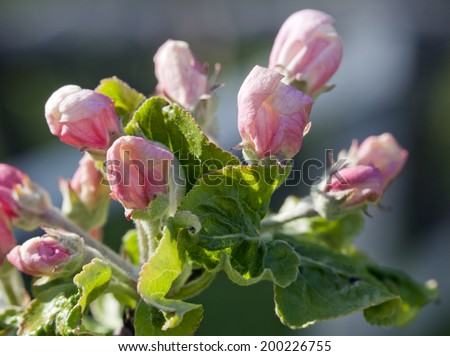 Buds, on an apple tree. Small red and orange buds on an apple twig. Close up. - stock photo
