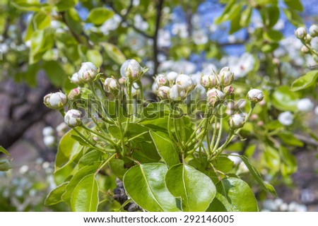 Buds on pear tree - stock photo