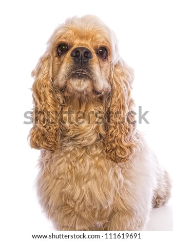 Buff Cocker Spaniel dog head shot isolated on white - stock photo