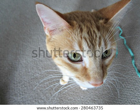 Buff yellow tabby cat, shot from above. Pale green eyes and big white whiskers.