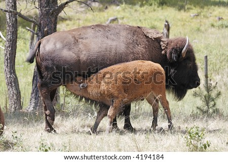 Buffalo and calf