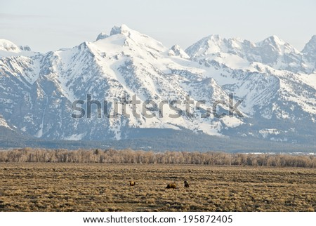 Buffalo and Elk graze and frolic in the early morning light on the sagebrush steppe of the Teton Mountains in Wyoming.