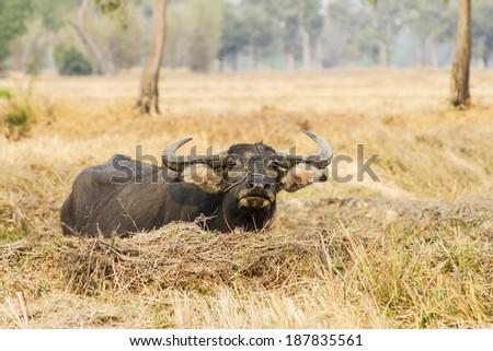 buffalo beautiful in wide field and  sunlight - stock photo