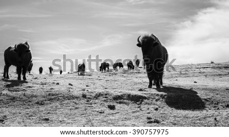 Buffalo (Bison) on the Plains of Colorado - stock photo