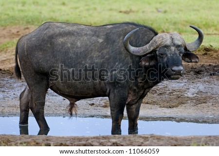 Buffalo Bull cooling off in the water - stock photo