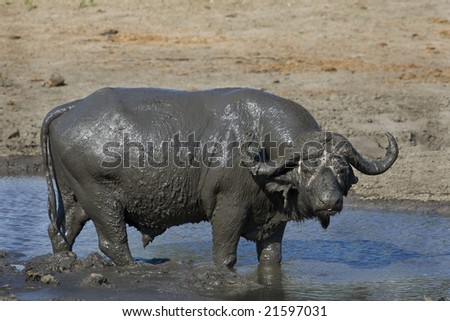 buffalo bull in water - stock photo