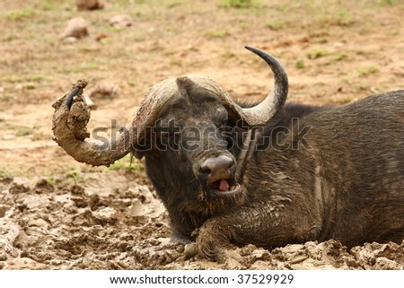 Buffalo bull rolling in the mud. - stock photo