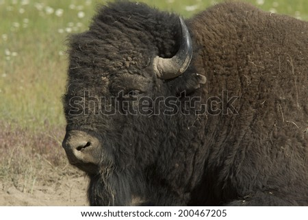 Buffalo close up at the National Elk and Bison Range in Montana - stock photo