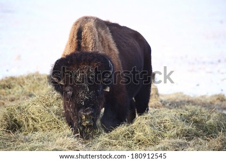Buffalo covered with hay in winter - stock photo