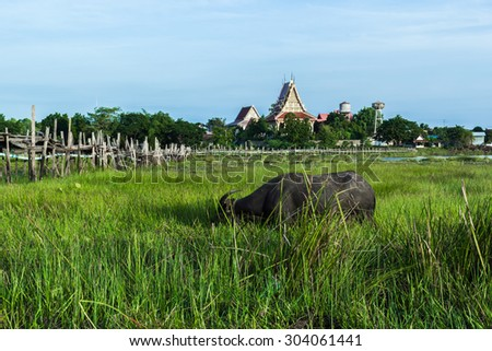 Buffalo eating grass along the edge of the river with a wooden bridge in front. Prairie occur during daylight hours. Mahasarakham, Thailand
