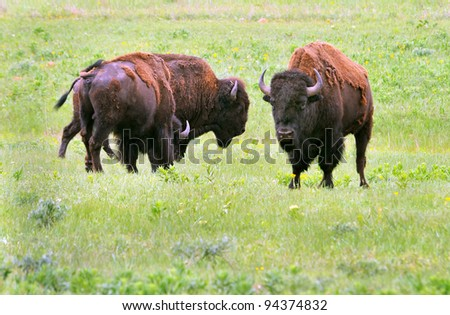 Buffalo from Lawton, Oklahoma. - stock photo