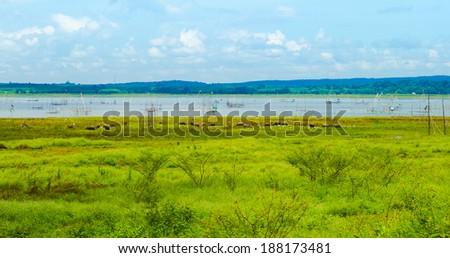 Buffalo graze in field - stock photo