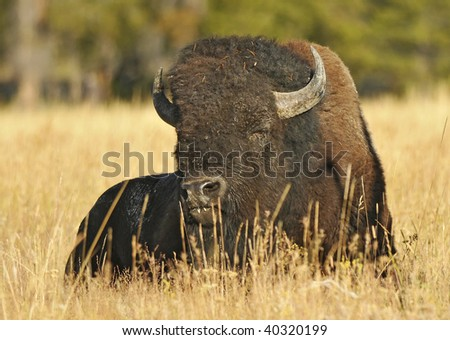 Buffalo Grazing - stock photo