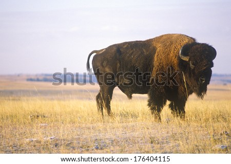 Buffalo grazing on range, Niobrara National wildlife Refuge, NE - stock photo