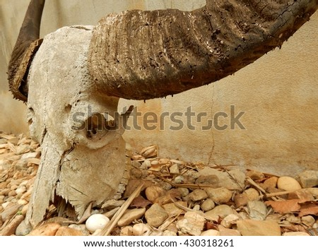 buffalo head skull - stock photo