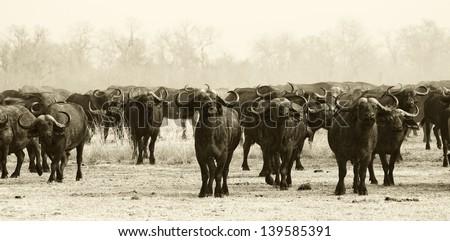 Buffalo Herd - stock photo