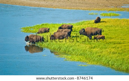 Buffalo herd - stock photo