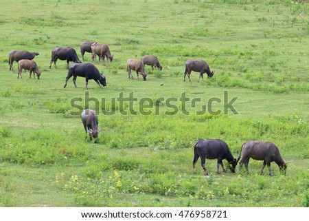 Buffalo herd in rural areas,Thailand